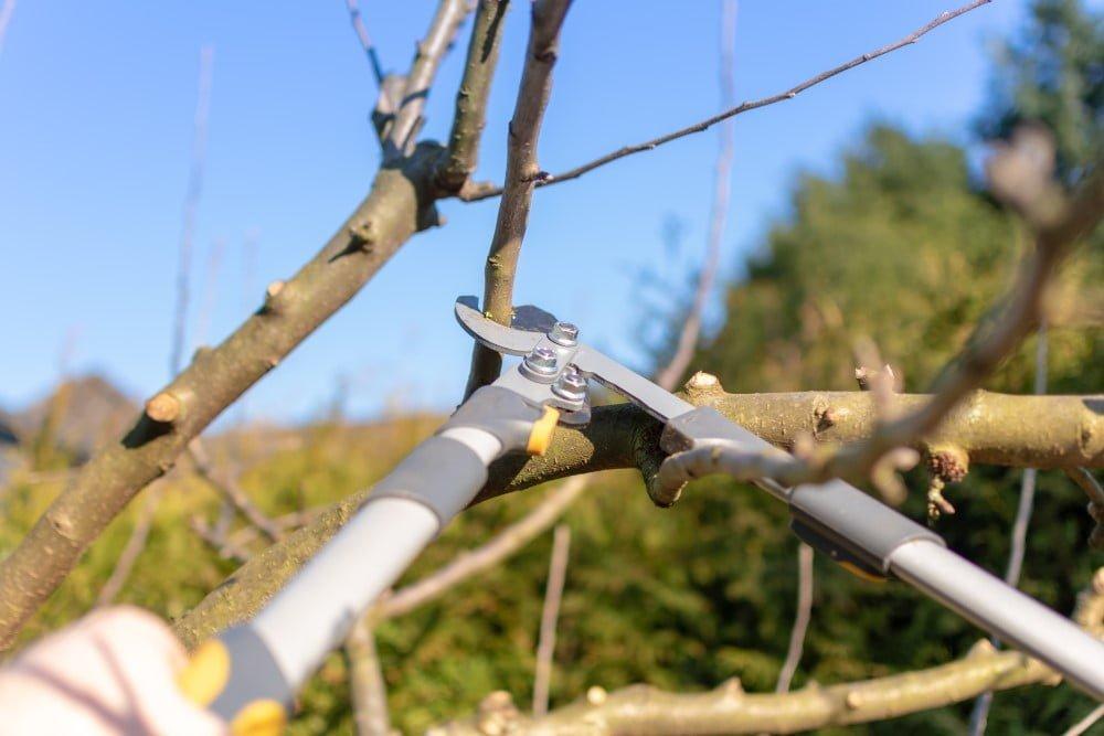 Grensaks der bruges til at beskære et æbletræ